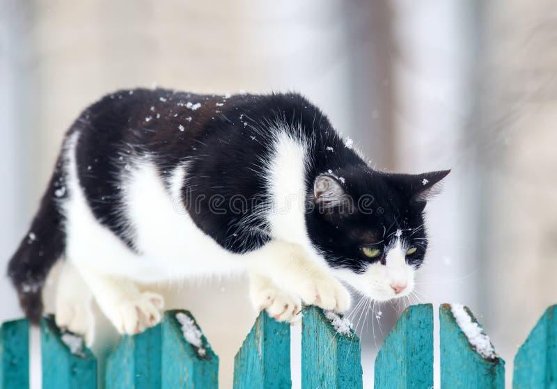 den roliga hem- katten går på ett trästaket i en by i trädgården under ett snöfall och blickar framåt royaltyfria foton