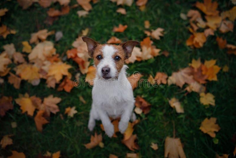 Den roliga hunden i parkerar i nedgången Husdjur i natur stålarrussell terrier royaltyfria bilder