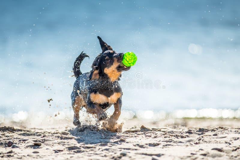 Den roliga hunden spelar nära vatten, plaskande små droppar royaltyfria foton