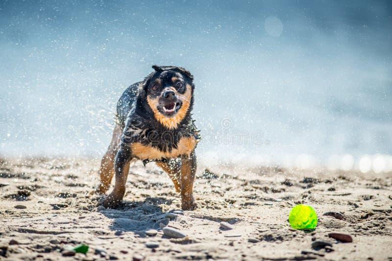 Den roliga hunden spelar nära vatten, plaskande små droppar royaltyfri fotografi