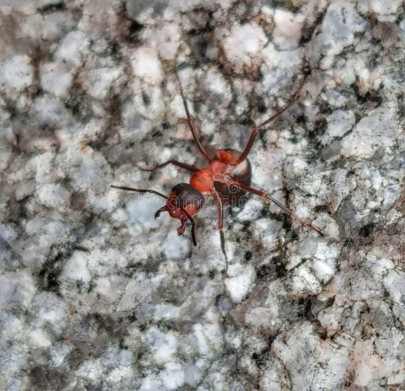 Den roliga myran vaggar på arkivbild