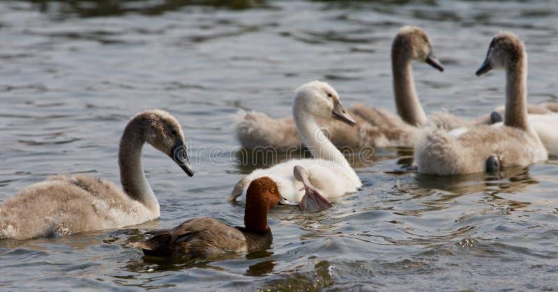 Den roliga rödhårig mananden och fyra unga svanar arkivbild