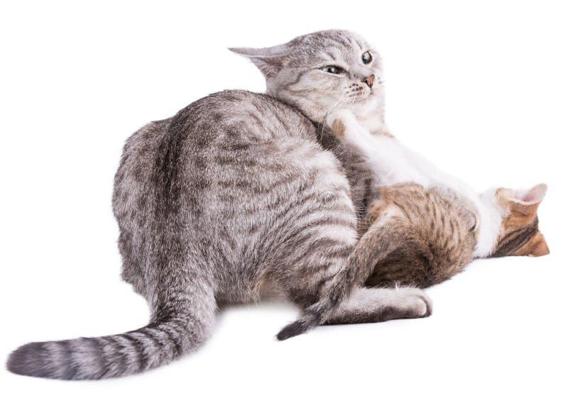 Den roliga randiga gråa katten spelar med kattungen royaltyfria foton