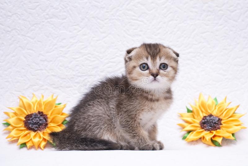 Den roliga randiga lilla kattungen är playin royaltyfria foton