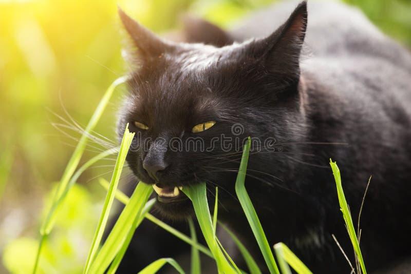 Den roliga ståenden för den svarta katten äter grönt gräs som är utomhus- i naturslut upp i solljus Vitaminbegrepp royaltyfria foton