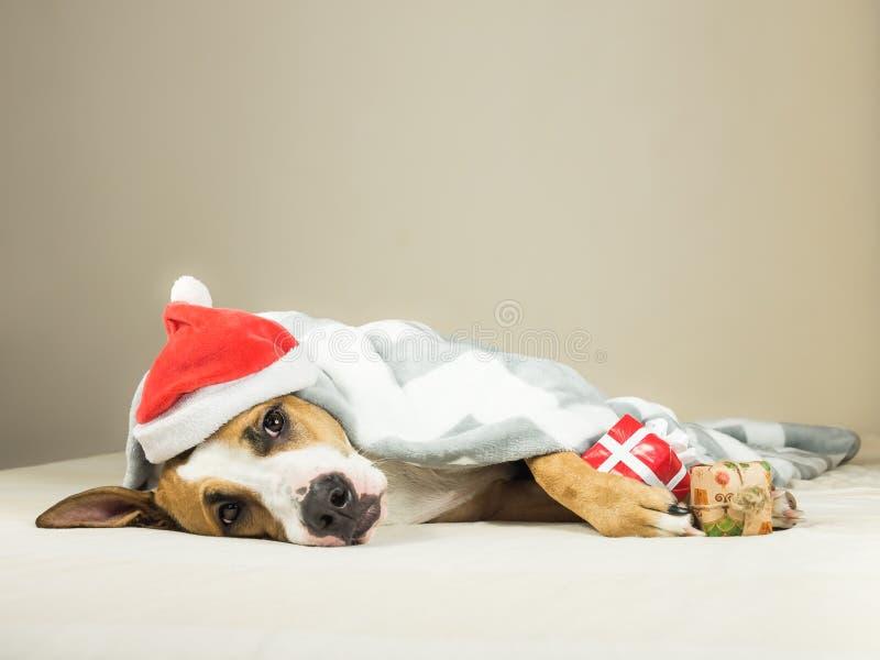 Den roliga staffordshire terriervalpen i hatt för den julSanta Claus maskeraden lägger den slågna in kastfilten i säng med gåva f arkivfoto