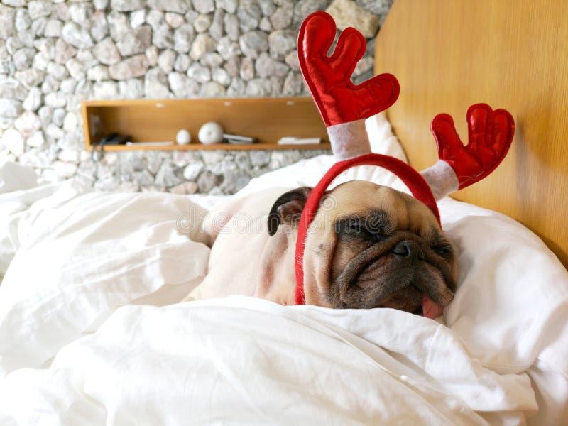 Den roliga trötta mopshunden som lägger på hennes sova för sida, vilar medan wearien arkivfoto