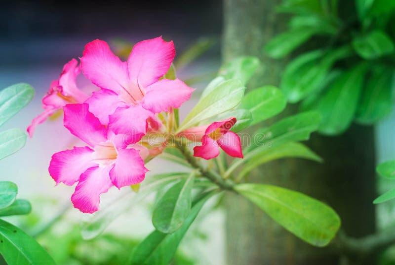 Den rosa azalean blommar, eller impalaliljan blommar i trädgård royaltyfri foto