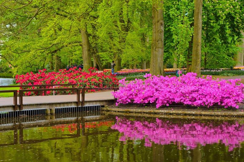 Den rosa azalean blommar nära dammet, Keukenhof parkerar, Lisse i Holland royaltyfri foto