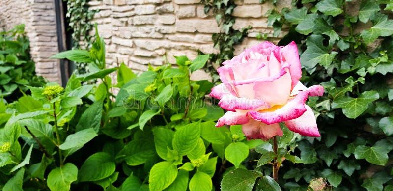 Den rosa blomman på filialen med stort varierade rosa toner arkivfoton