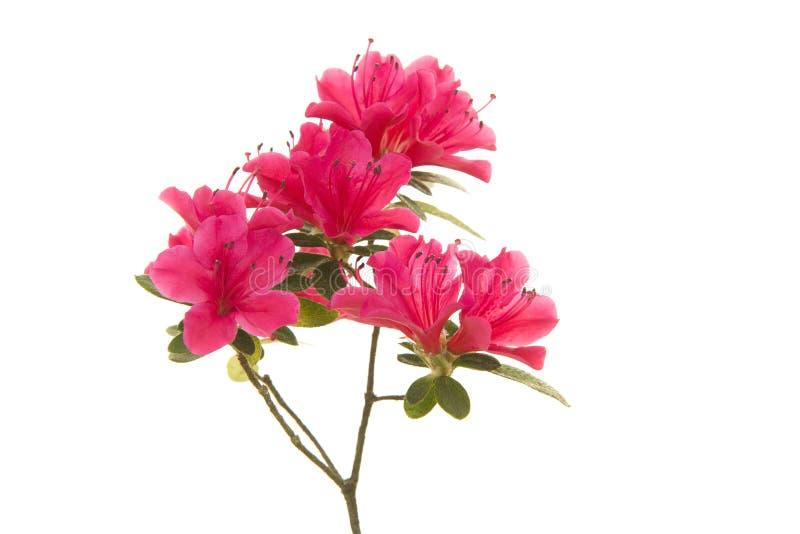 Den rosa blosseming azalean blommar på en filial royaltyfri foto