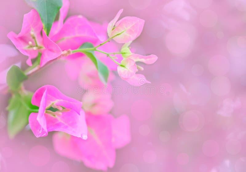 Den rosa bougainvillean blommar i mjuk färg och suddighet för bakgrund royaltyfria foton