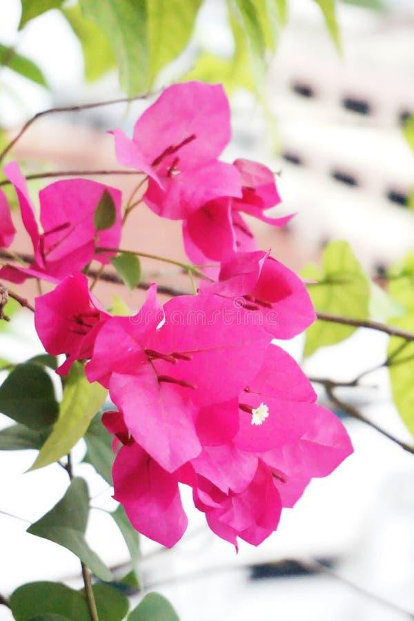 Den rosa bougainvillean blommar mot vit byggnadsbakgrund arkivfoto