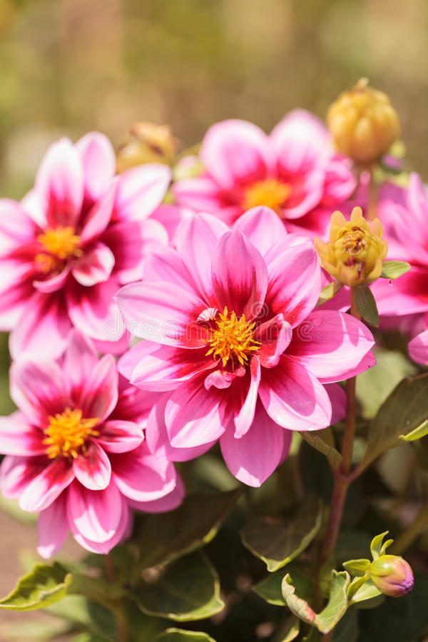 Den rosa dahliablomman kallade Tjusning royaltyfri foto