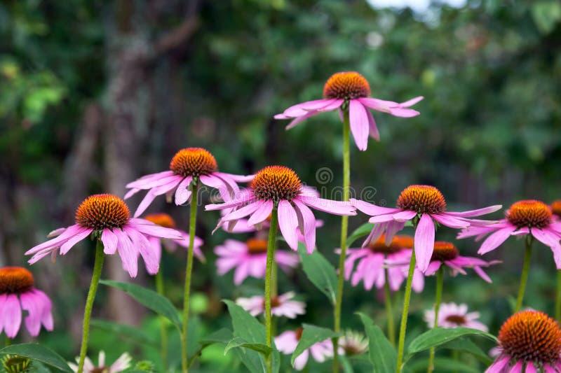 Den rosa echinaceaen blommar på grön naturbakgrund arkivfoton