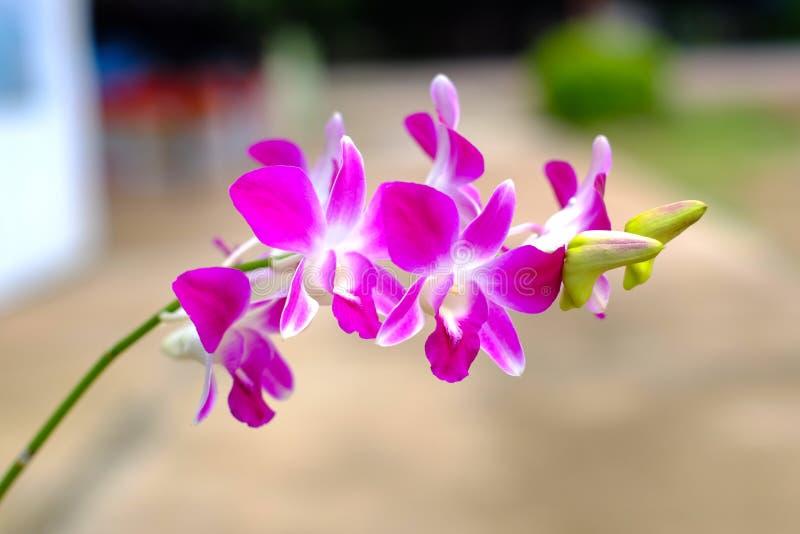 Den rosa eller purpurfärgade orkidén blommar, orkidédrottningen av blommor arkivbild