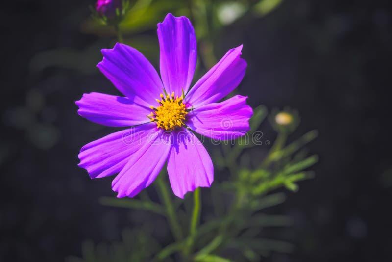 Den rosa enkla blomman av kosmosbipinnatusen, kallade gemensamt tr?dg?rdkosmoset eller den mexicanska aster p? gr?n bakgrund royaltyfria foton