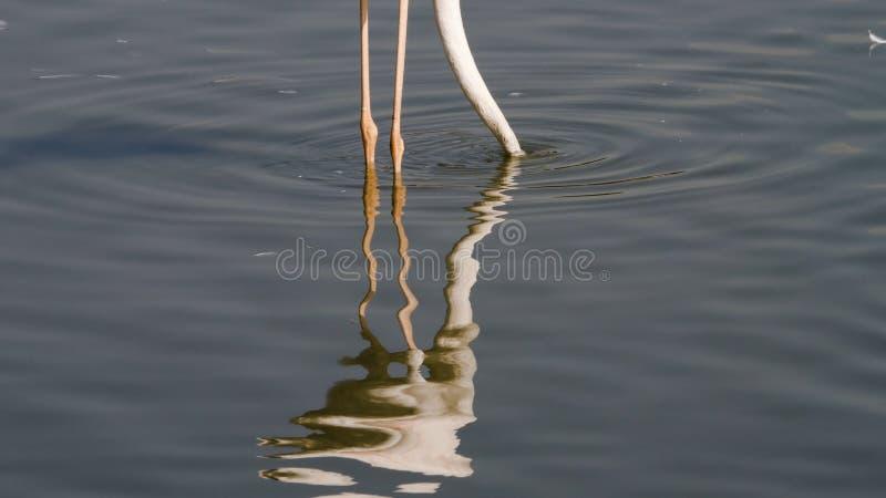Den rosa flamingo äter i dammet royaltyfri bild