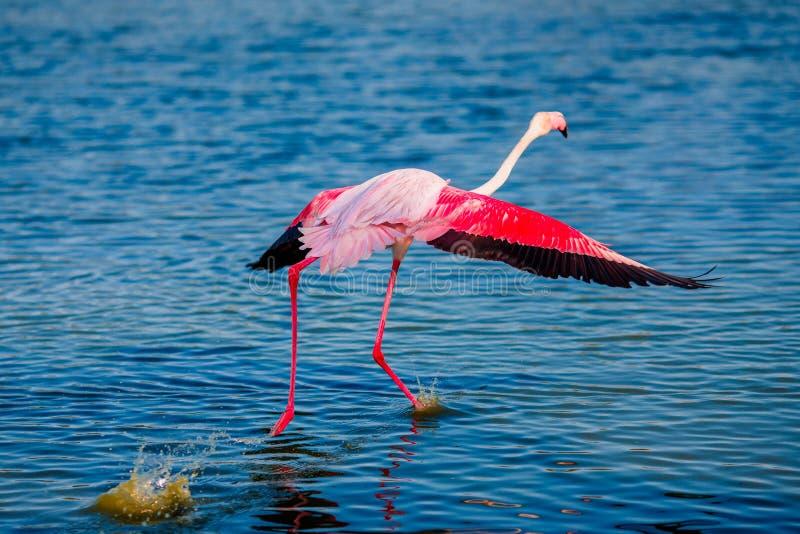 Den rosa flamingofågeln flyger upp från vatten mot blå himmel arkivbilder
