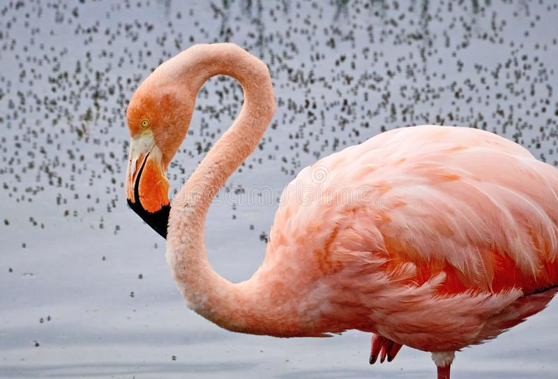 Den rosa flamingolaten Phoenicopterus Sk?nhet, n?d, en special berlock och unikhet av flamingo royaltyfria foton