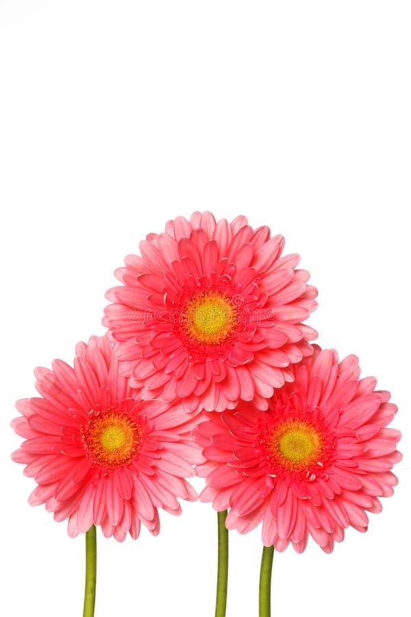 Den rosa gerberaen blommar på vit royaltyfri bild