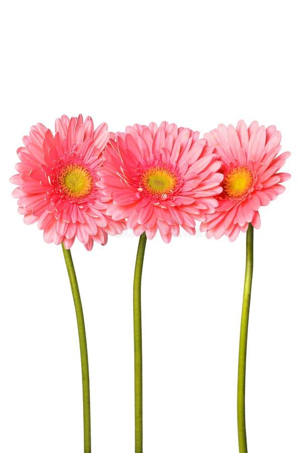 Den rosa gerberaen blommar på vit arkivfoto