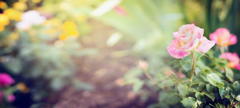 Den rosa gränsen steg i trädgård eller parkerar på säng av blommor, banret för website royaltyfri bild