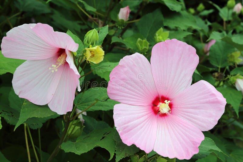 Den rosa hibiskusen blomstrar closeupen fotografering för bildbyråer