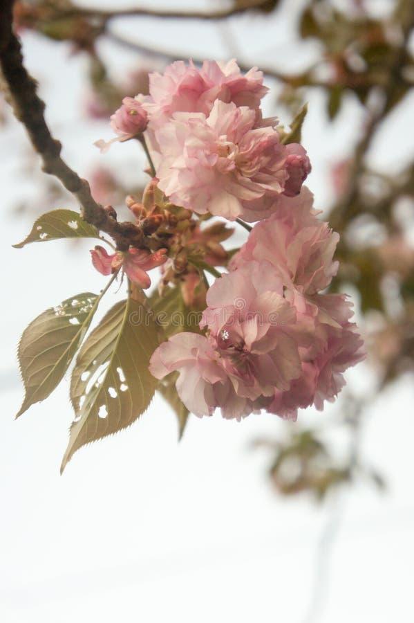 Den rosa körsbäret blommar Prunusserrulataen som på våren blommar royaltyfri foto
