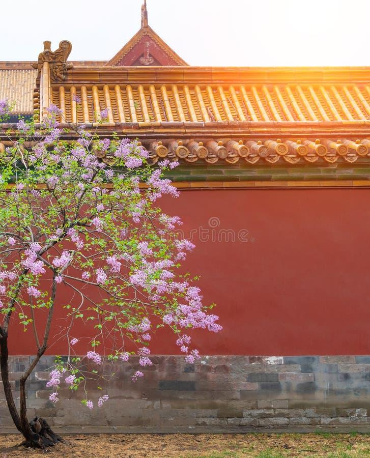 Den rosa lila blomman blomstrar syringaen som är vulgaris i Forbidden City med solsken i himmel- och kopieringsutrymme arkivfoto