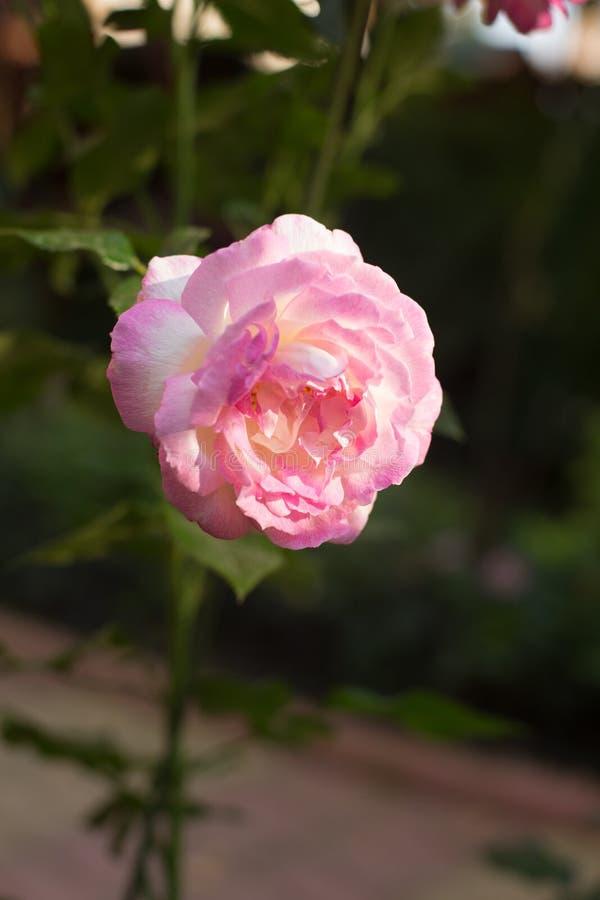 Den rosa rosa lilan för trädgården växte på en grön bakgrund royaltyfri fotografi