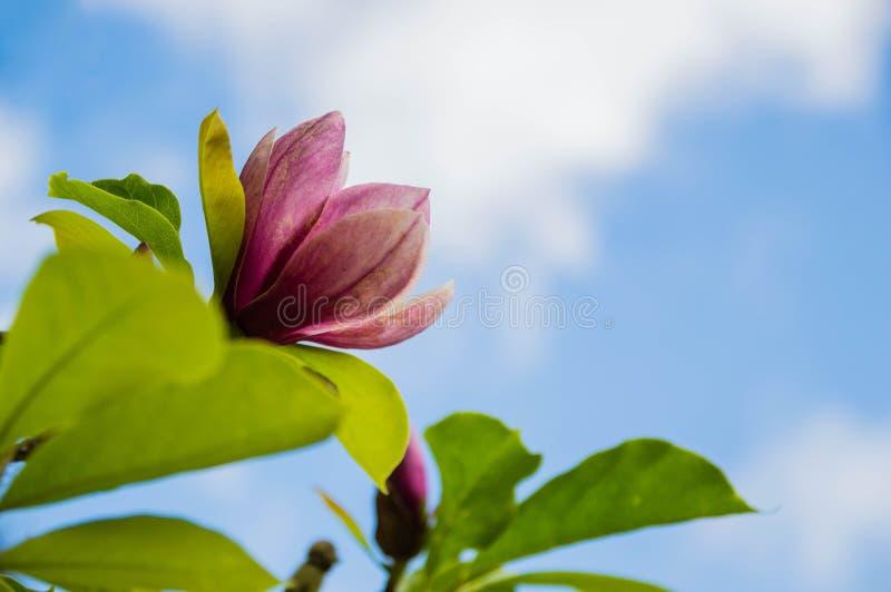 Den rosa magnolian blommar bakgrunden är himmel royaltyfri bild
