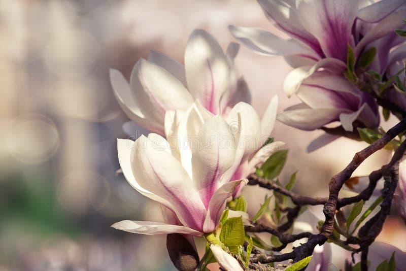 Den rosa magnolian blommar på frunchen mot byggnad royaltyfria foton
