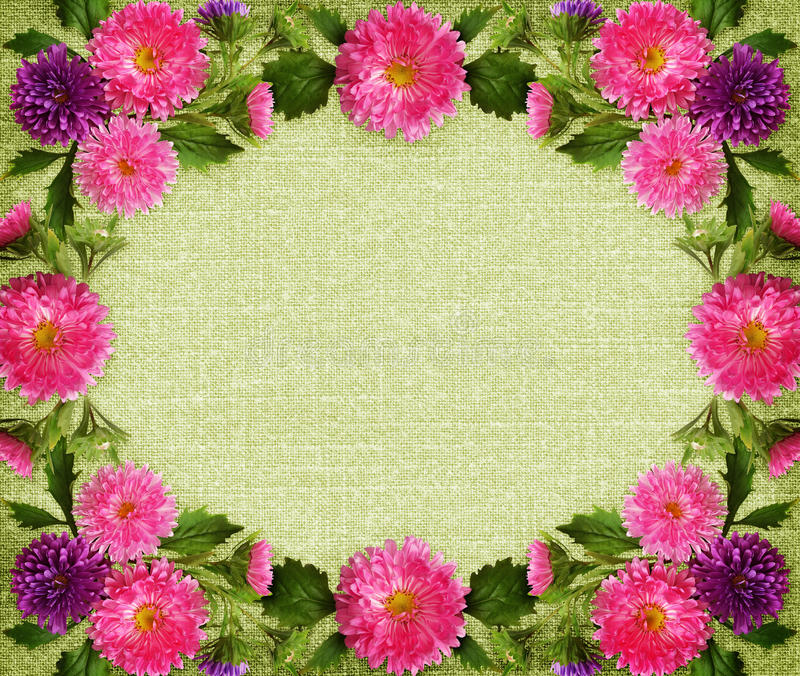 Den rosa och purpurfärgade aster blommar och knoppramen på grön kanfas royaltyfri bild