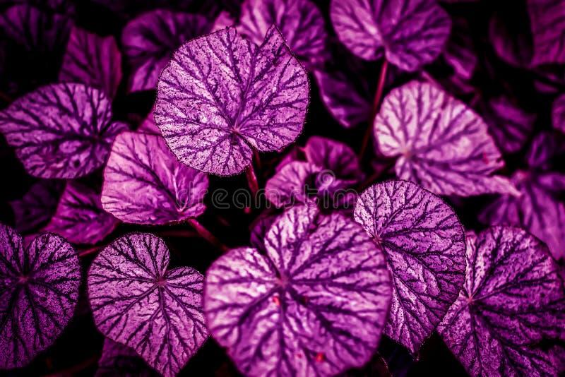 Den rosa och purpurfärgade gränsen lämnar hjärtaform mörk bakgrund royaltyfria bilder
