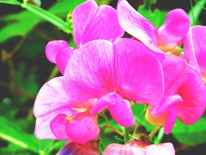 den rosa orkidén arkivfoton