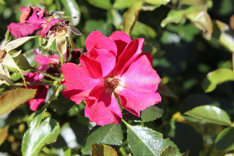 Den rosa prärien steg royaltyfri foto
