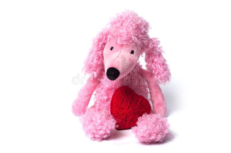 den rosa pudeln leker med röd hjärta som sitter på vit backg arkivbild