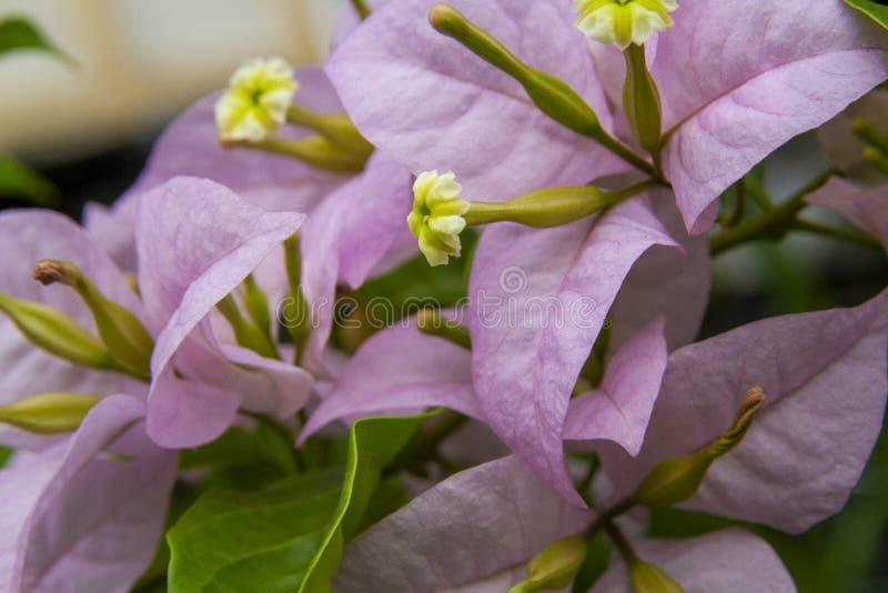 Den rosa purpurfärgade bougainvillean blommar makroskottet arkivfoto