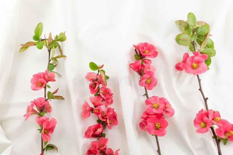 Den Rosa rugosaen blommar på vitt tyg royaltyfria foton