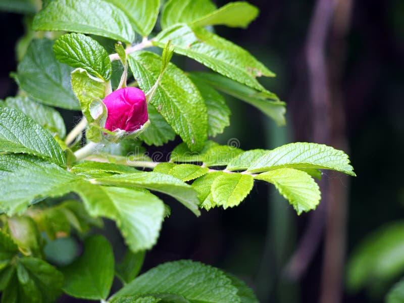 Den Rosa rugosaen - steg fotografering för bildbyråer