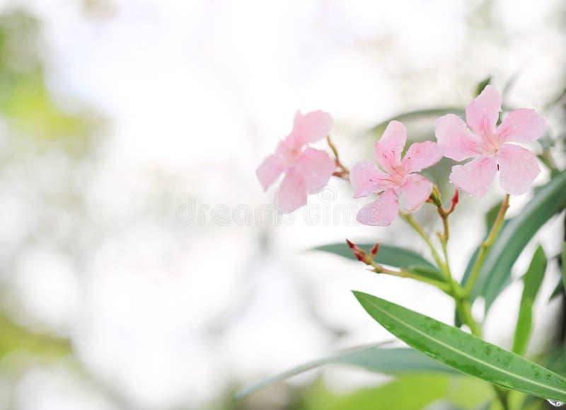 Den rosa söta oleanderblomman eller steg den doftande oleander för fjärden, oleander, Neriumoleander L, maler bevattnar Neriumind royaltyfri bild