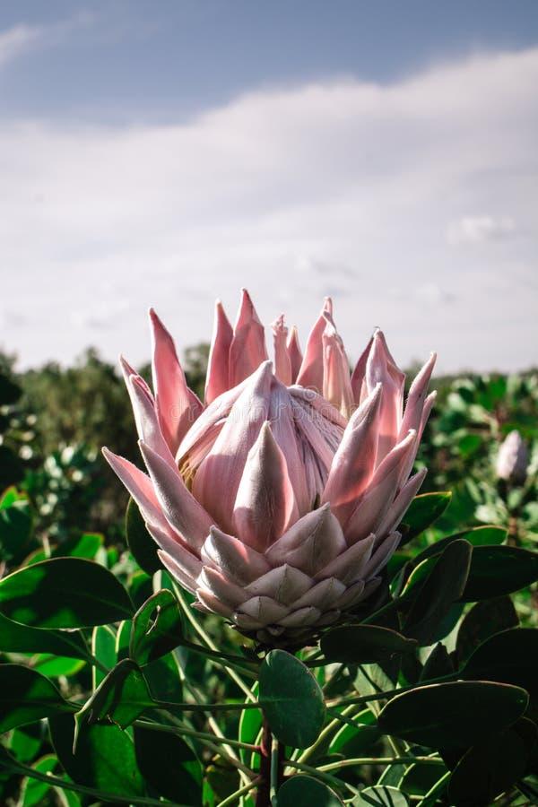 Den rosa stora Proteahalvan öppnade på en Protealantgård royaltyfria bilder