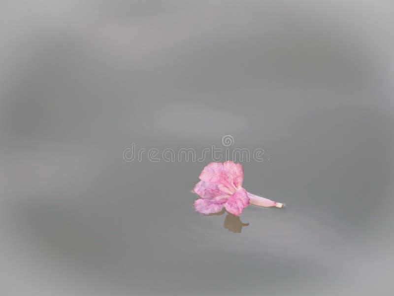 Den rosa Tabebuia blomman, som flödar, följer med vatten arkivbild