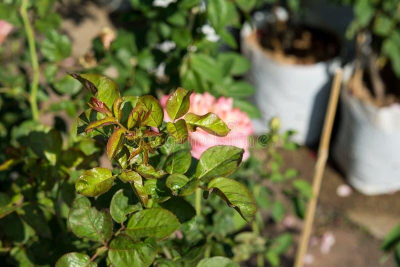 Den rosa trädaffären, rosträdgård, steg blommaträdet på försäljning royaltyfria bilder