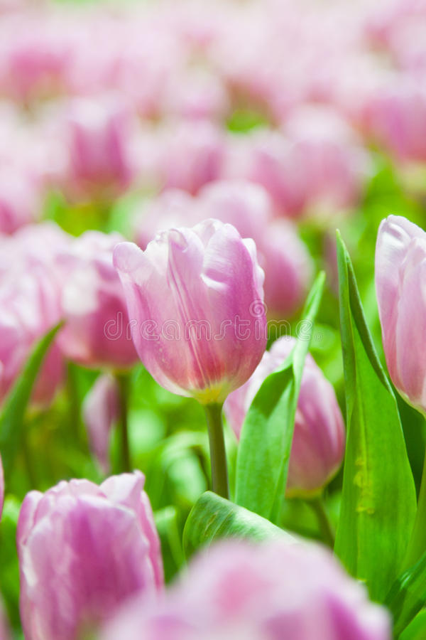 Den rosa tulpan blommar på grön bakgrund fotografering för bildbyråer