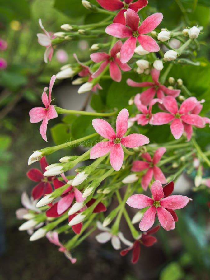Den rosa vita röda Rangoon rankan blommar att blomma arkivbilder
