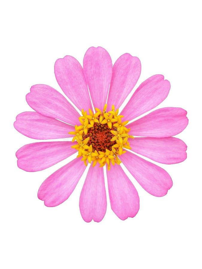 Den rosa zinniaen blommar ljus botanisk isolerad vit bakgrund arkivfoto