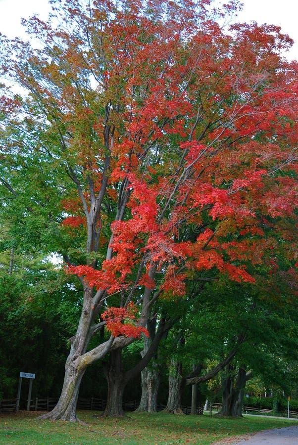 In den roten und grünen großen Bäumen in Kanada lizenzfreies stockfoto