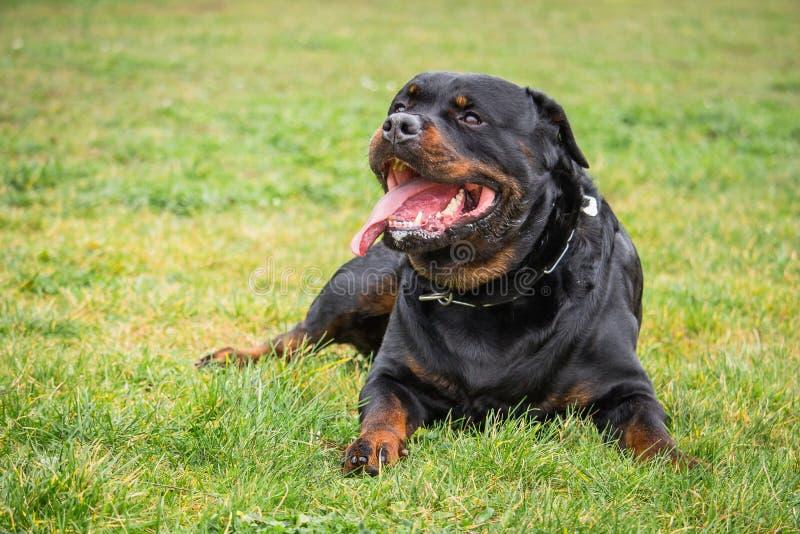 Den Rottweiler hunden, som håller ögonen på och väntar på hans ledar- ` s, beställer, medan ligga ner royaltyfri foto